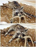 The Coon With Golden Eyes by WeirdCityTaxidermy