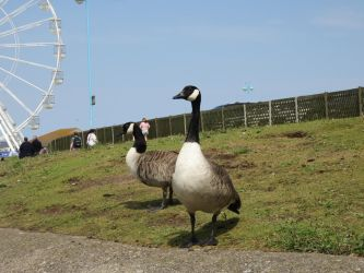 Canada Geese by Candyfloss-Unicorn