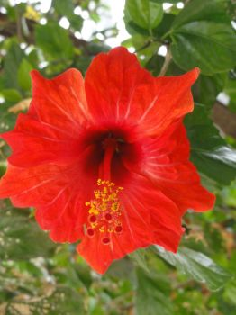 Red Hibiscus by Diox15