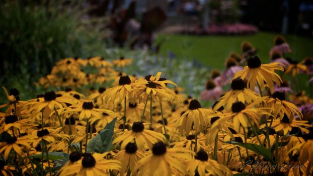 Sunflowers at the Falls by irahim