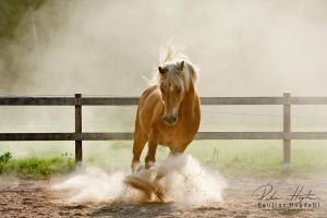 Haflinger by Colourize