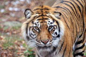 Sumatran Tiger 3 by 8TwilightAngel8
