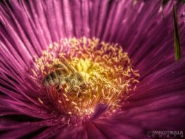 Carpobrotus Edulis and Bee by Ragnarokkr79