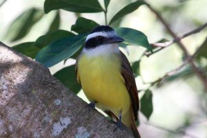 Great Kiskadee by boanergesjr