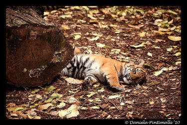 Sleepy Baby Tiger by TVD-Photography