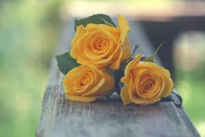 Yellow Roses by incolor16