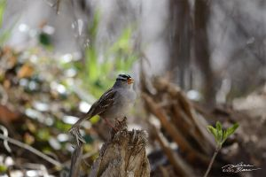 White Crowned Sparrow singing by themanitou