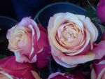 Roses 7 by greenaleydis-stock