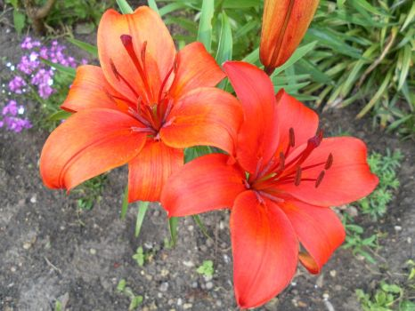 Tiger lillies by PreciousThing66