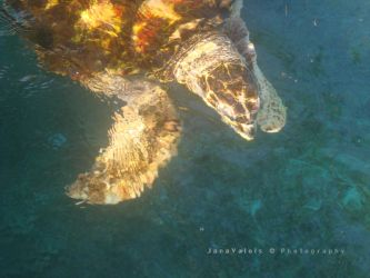 turtle by JaneV