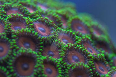 Zoanthid colony 7 by tycallsky