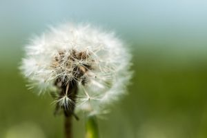 Dandelion Head by ian-roberts
