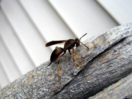 Wasp by easybeeze