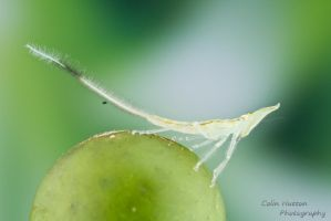 Planthopper nymph by ColinHuttonPhoto