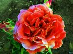 Summer Rose by isider