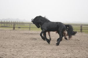 Friesian Stallion 28 by PerfectionStock