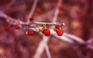 Red Berries by EveVictus