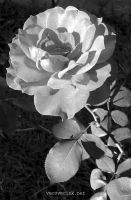 BW Rose by vmcampos