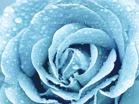Winter Rose by Lilyas