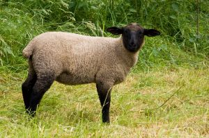 Sheep by archaeopteryx-stocks