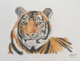Tiger Drawing by Letsdreamofpeanuts