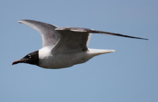 Stock | Laughing Gull by ShadowsStocks