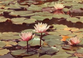 water Lilies by Skayka