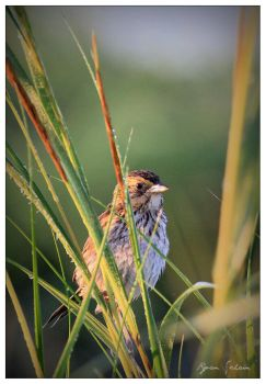 Saltmarsh Sharp-tailed Sparrow by Ryser915
