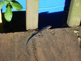 Blue-Tailed Skink 2 by EmeraldTokyo
