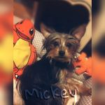 Mickey the yorkie  by Pinkwolfly