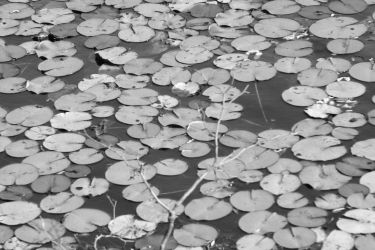 Lily Pads Two by thzinc