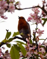 Robin in the blossom tree by 53kshun8