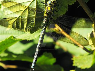 Dragonfly by photos-for-cookies