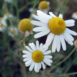 Camomile by DitaK