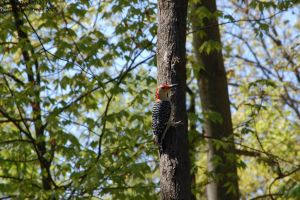 Red-Bellied Wood pecker by Hero-Ritsuka