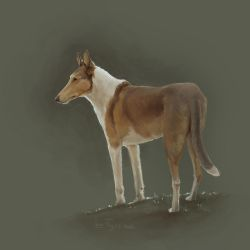 Smooth collie by Tigzz