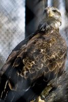 Bald Eagle 01 by btoum