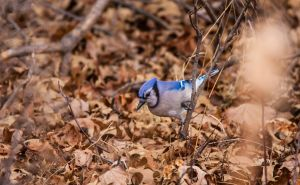 Blue Jay by photohooks