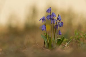 Blue Flowers by homerlein