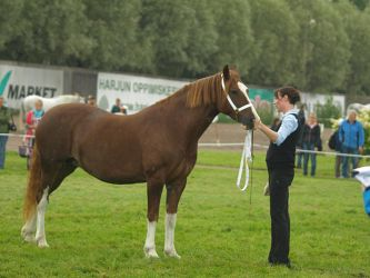 Welsh cob mare 3 by wakedeadman
