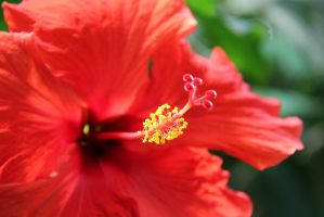 Red hibiscus by MaresaSinclair