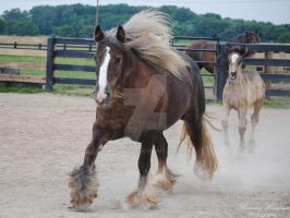 Gypsy Vanner Mare Cantering Forward - Stock by BHP-Stock