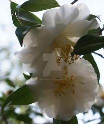 Camellia 2 by annehawholt