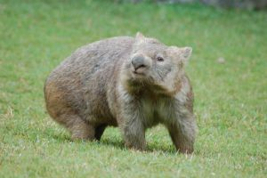 Wombat Stock 4 by Chunga-Stock