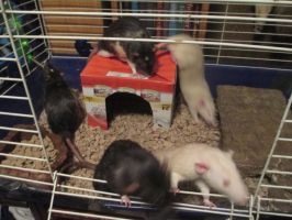 New rats! by NightsGem