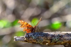 Runway ready - Butterfly Polygonia c-album by VitoDesArts