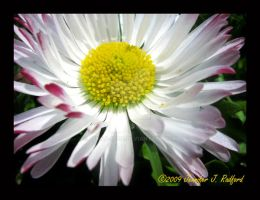 English Daisy I by Jenna-Rose