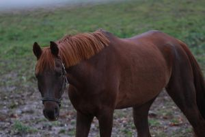 Liver Chestnut Warmblood Gelding by HorseStockPhotos