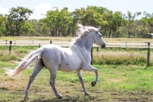 HH Grey Andalusian Cantering away by Chunga-Stock