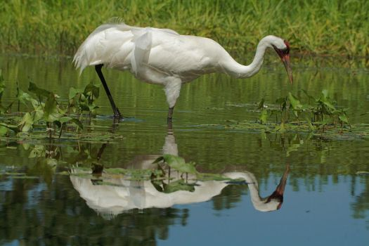 Whooping Crane by RayRupnow